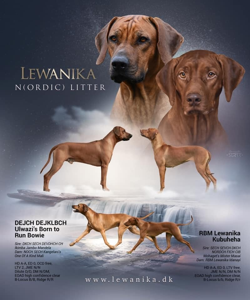 Announcing new mating at Kennel Lewanika – Kuki and Bowie –